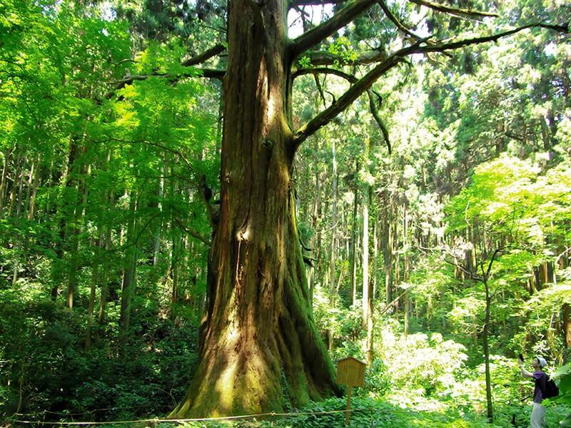 樹齢900年の巨木・爺杉