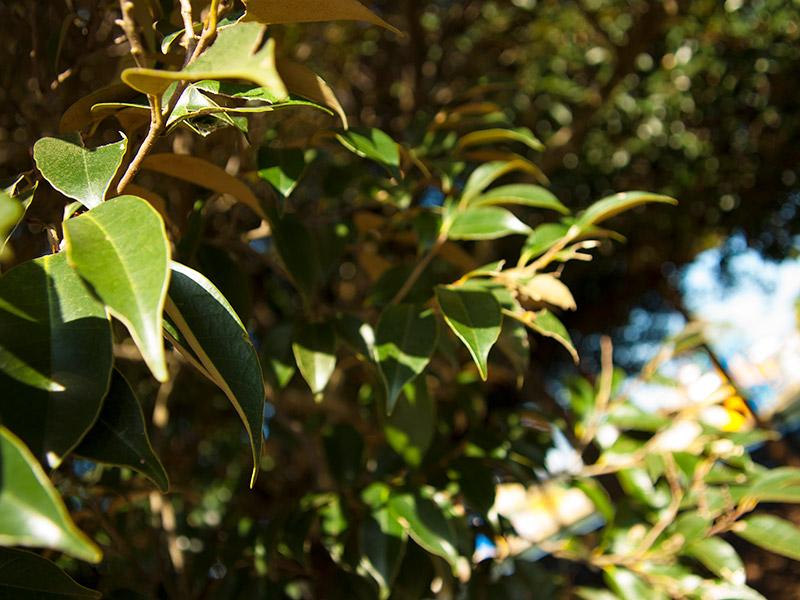 スダジイの葉