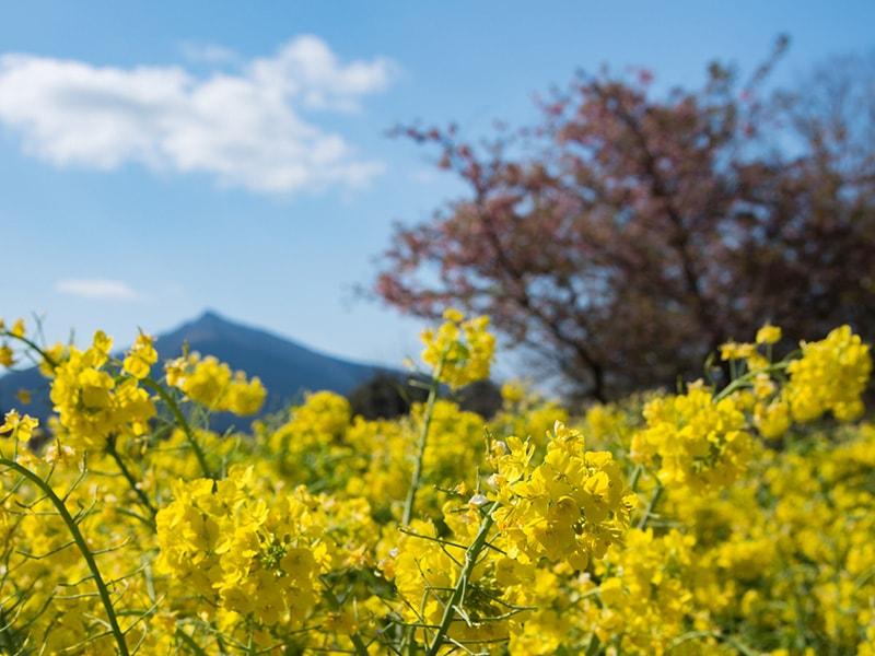 3月の菜の花3