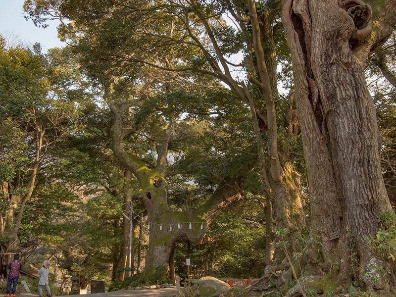 薬王院の巨樹