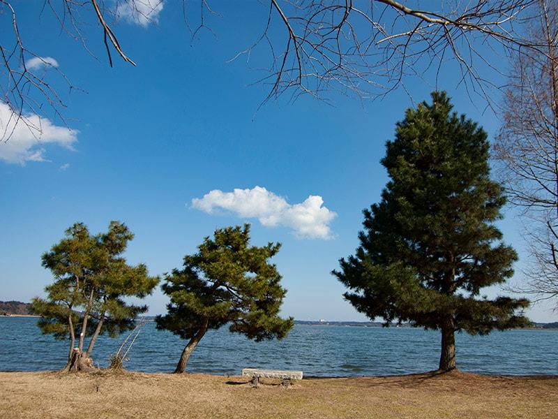 親沢公園の松と涸沼2
