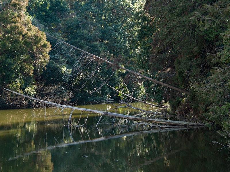 水面に倒れる木