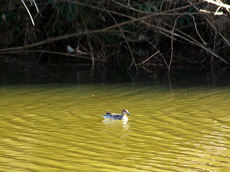 水面を移動するカモ