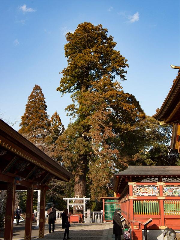 ご神木の三郎杉