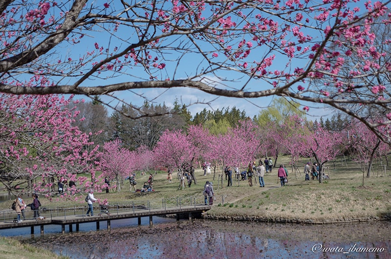 大賀蓮池と桃林
