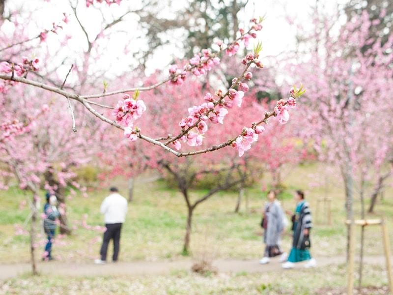 古河の桃は日本一!古河総合公園で開催された豪快な桃まつり!(古河市)