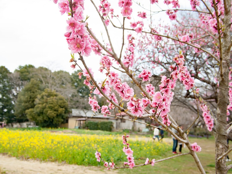 桃の花とアブラナ4