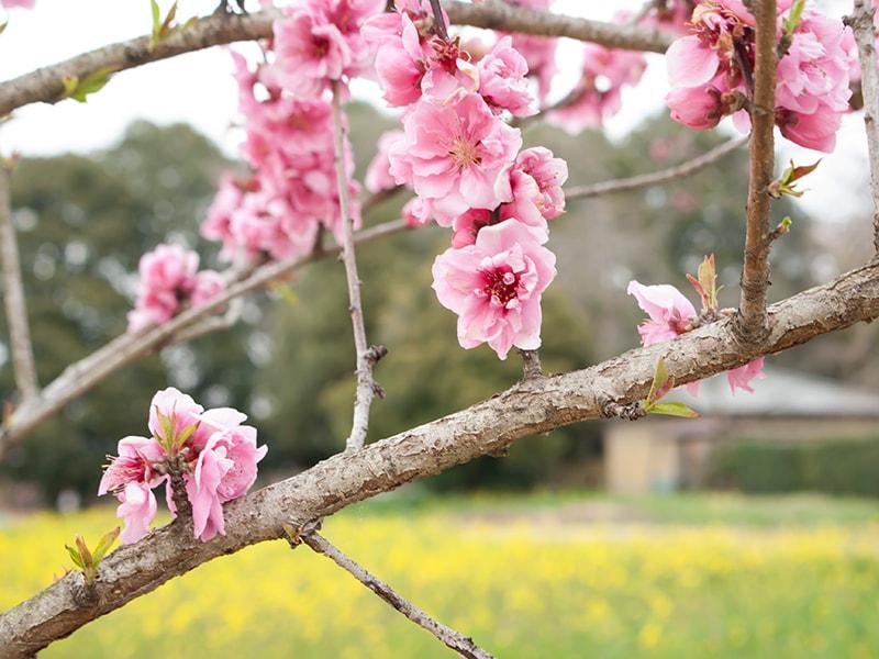 桃の花とアブラナ3