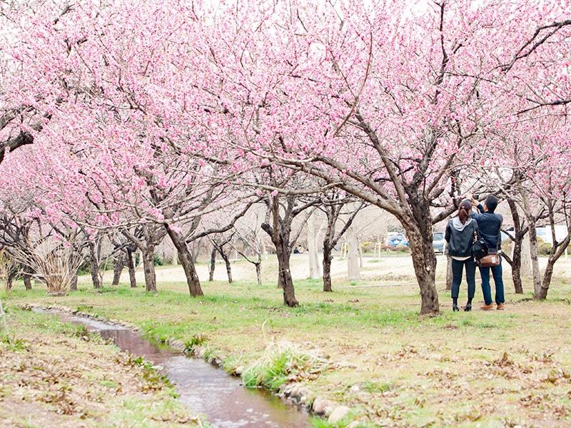 桃の木と小川
