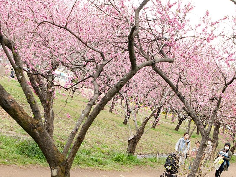 桃の木のある道2