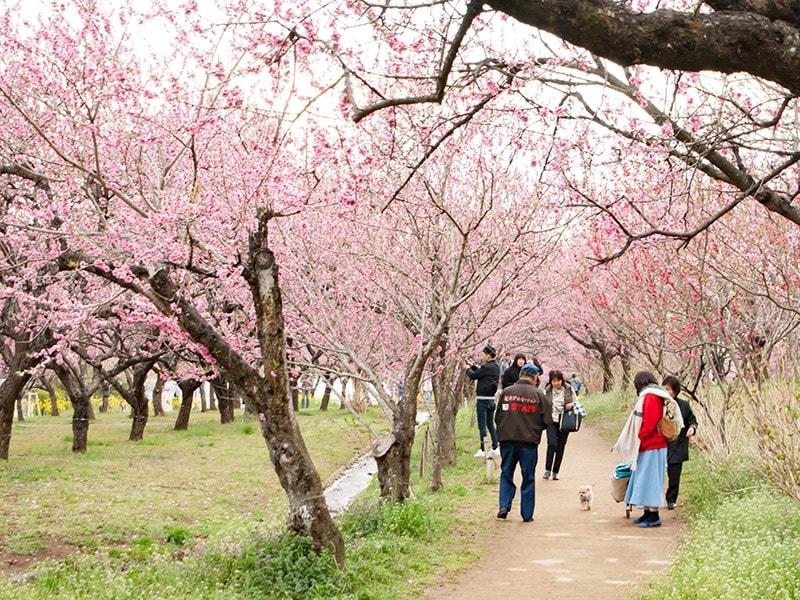 桃の木のある道1