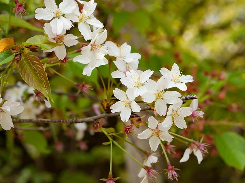 大戸のサクラ(花)