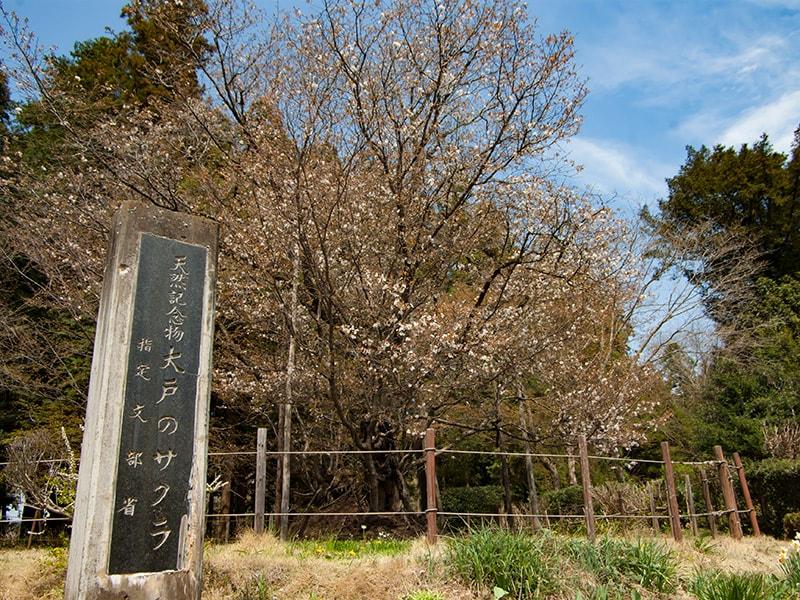 樹齢500年オーバー!水戸黄門が愛した大戸のサクラ 今年も咲きました!(茨城町)