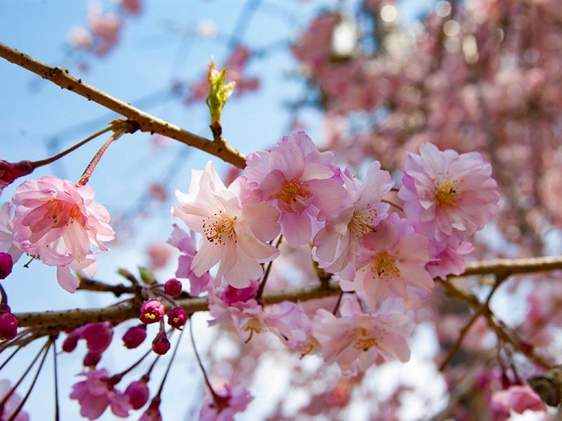 ピンクの花弁のさくら