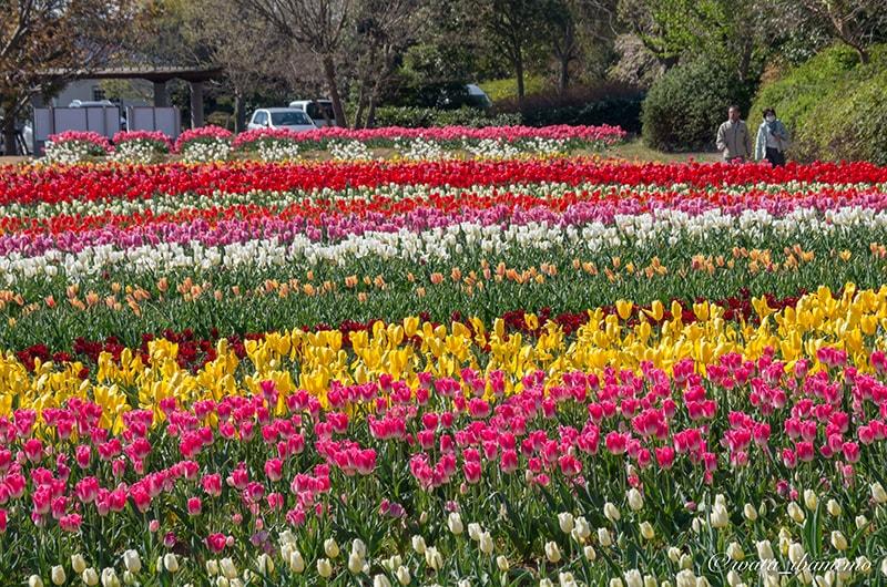 満開の和田公園