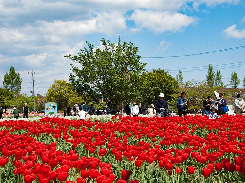 和田公園の赤いチューリップ