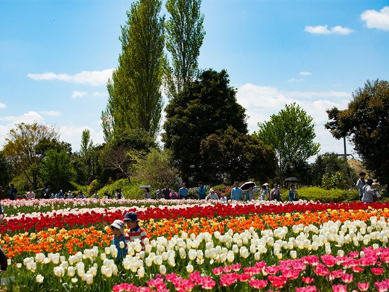 和田公園のチューリップ畑1