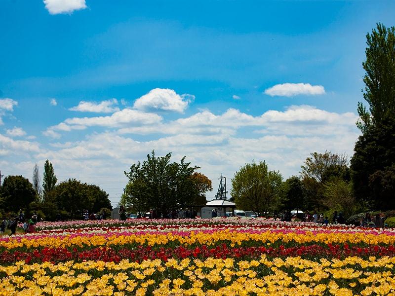 和田公園のチューリップ畑4