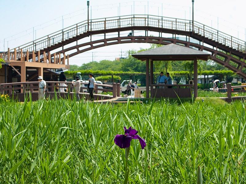 花菖蒲と水雲橋
