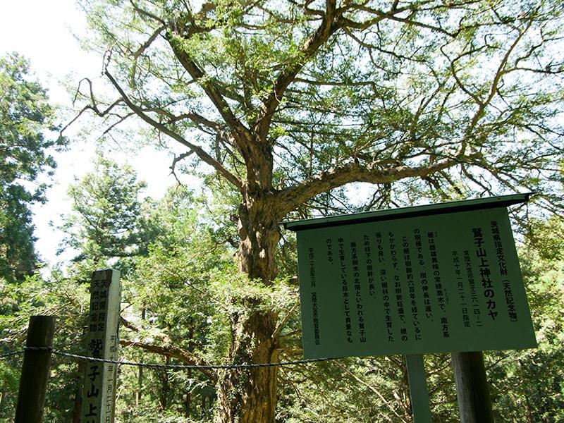 巨大なカヤの木