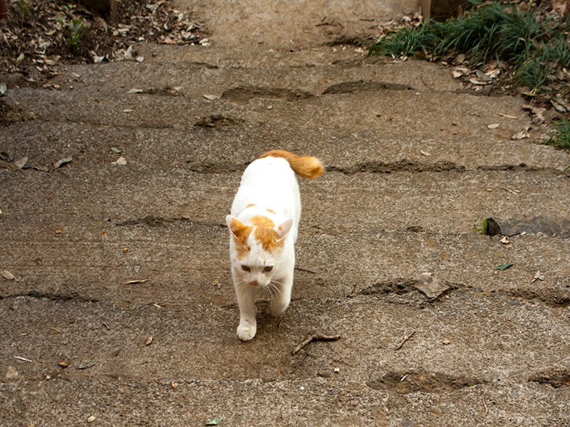 富士山浅間神社の猫4