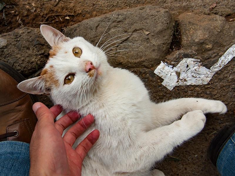 富士山浅間神社の猫1