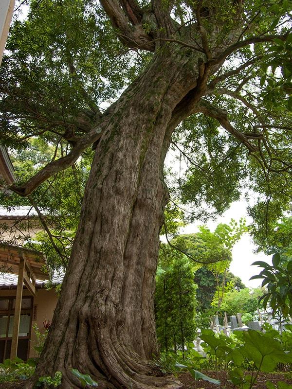 二本松寺の槇