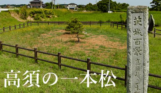900年の歴史を背負った高須の一本松(行方市)
