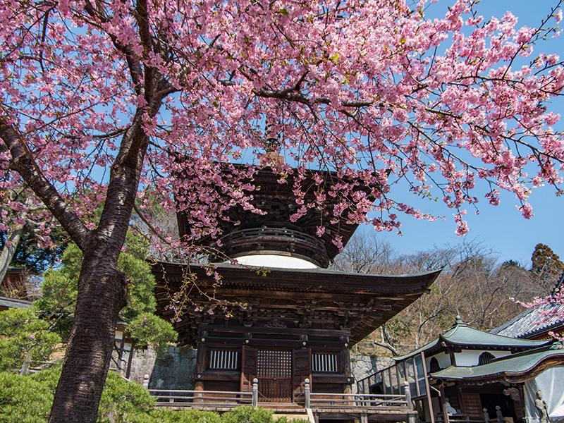 多宝塔と河津桜