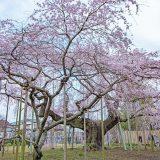 般若院のしだれ桜1