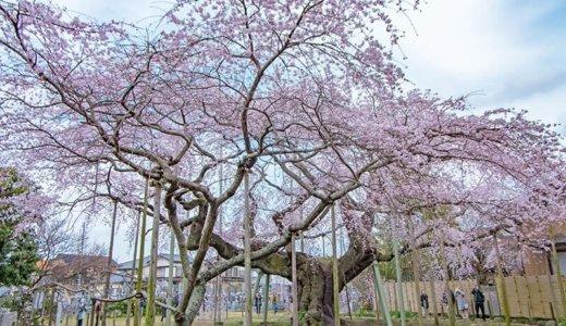 般若院のしだれ桜〜樹齢450年 龍ケ崎の歴史と共に〜(龍ケ崎市)