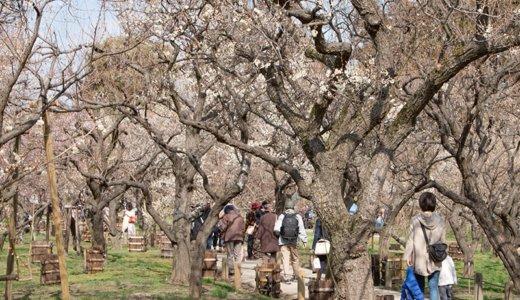 偕楽園の『水戸の梅まつり』は3月31日まで!梅酒まつりに大撮影会、刀剣乱舞のスタンプラリーのようすをレポート(水戸市)