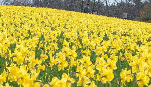 スイセンファンタジーはじまる!国営ひたち海浜公園で春の訪れを満喫(ひたちなか市)