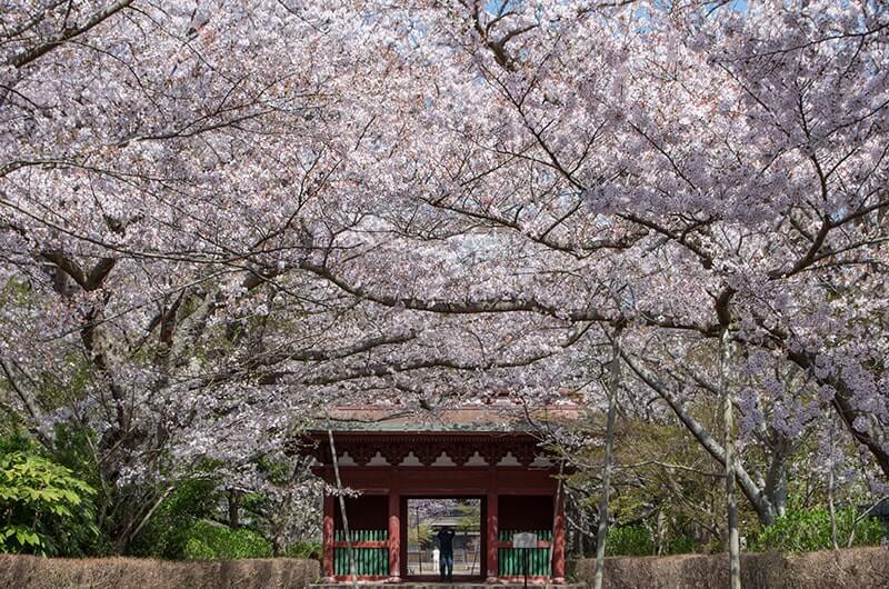参道(桜)