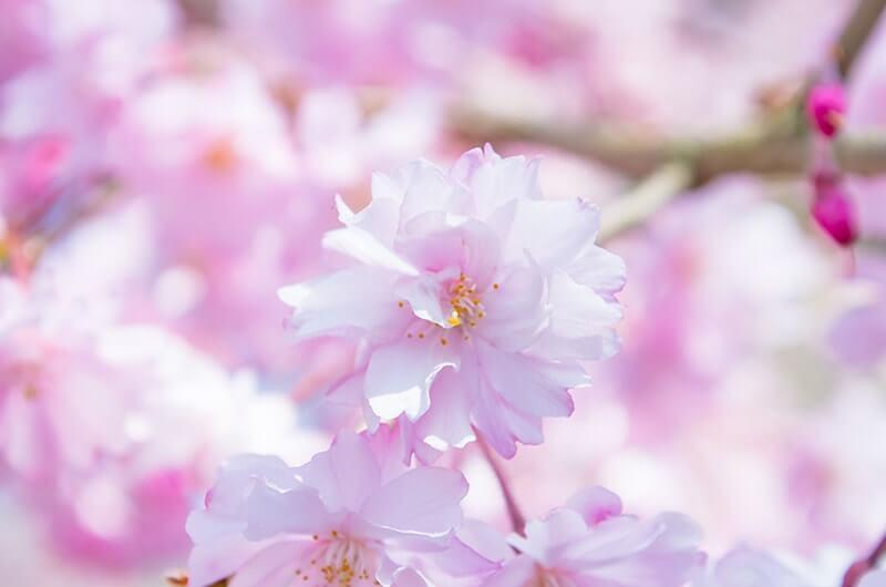 長勝寺の八重桜