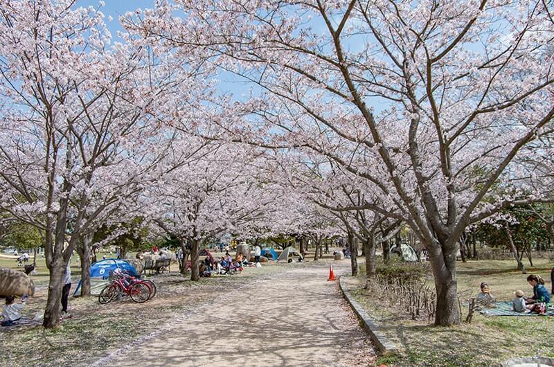 霞ヶ浦総合公園の桜