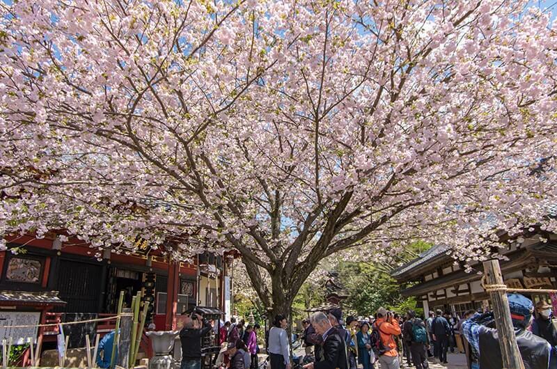 雨引観音の一本桜「一葉」