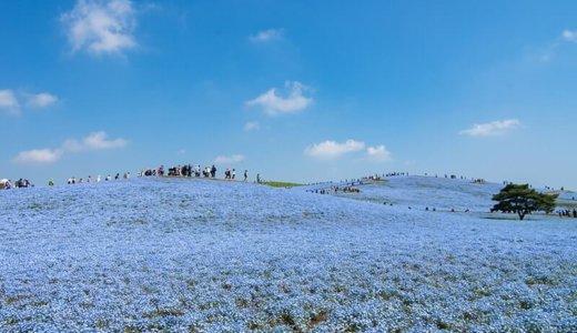 茨城の絶景 ひたち海浜公園でネモフィラハーモニー開催!〜アクセスとみどころ〜(ひたちなか市)