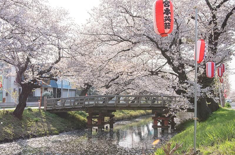 新川の桜1