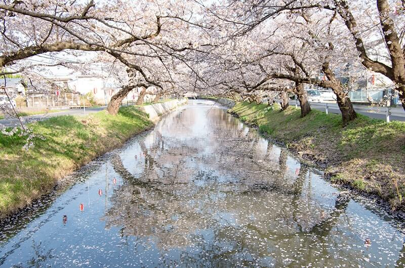 新川の桜2