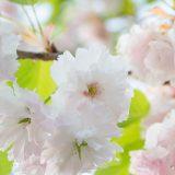 静峰ふるさと公園の八重桜