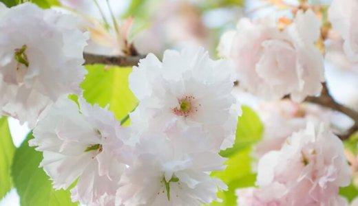 見頃が過ぎても楽しめる?静峰ふるさと公園の八重桜まつり(那珂市)