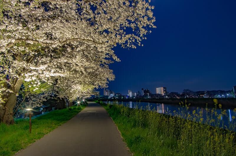 桜川の夜桜