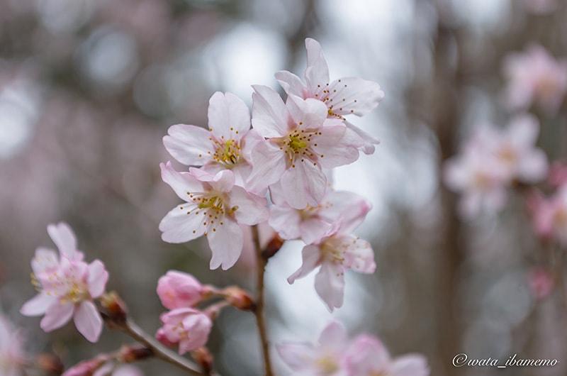 弁円懺悔の桜(世継ぎ)