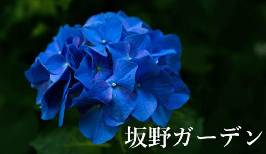 梅雨は坂野ガーデンへ♪あじさいと遅咲きのバラが見事です(常総市)