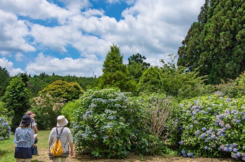 あじさいの森加茂オリジナル品種