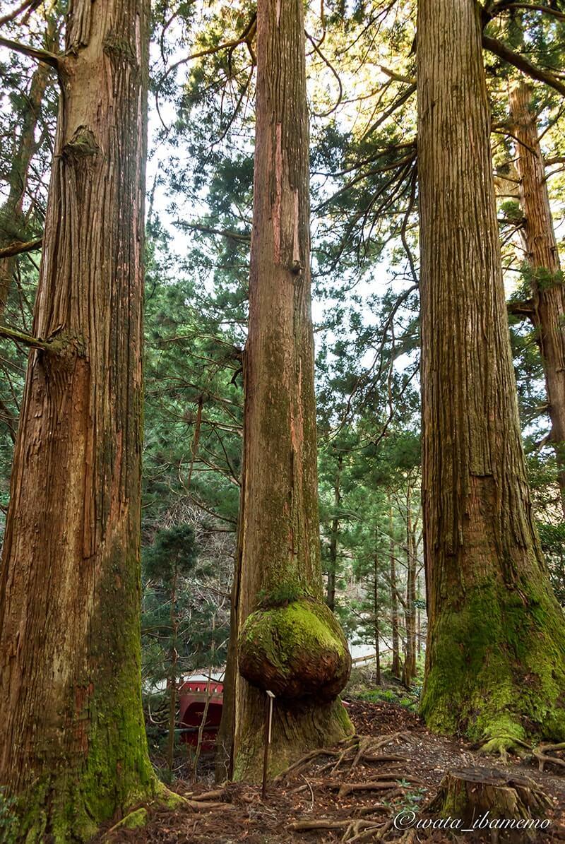 御神木の三本杉