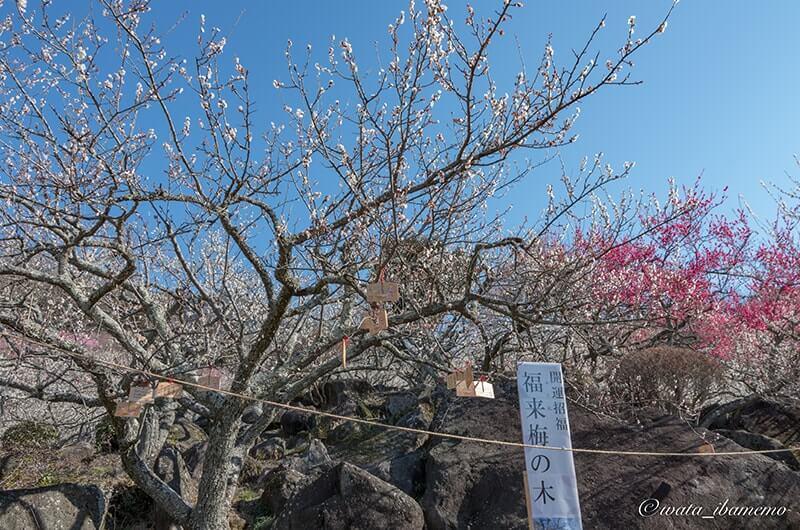 福来梅の木