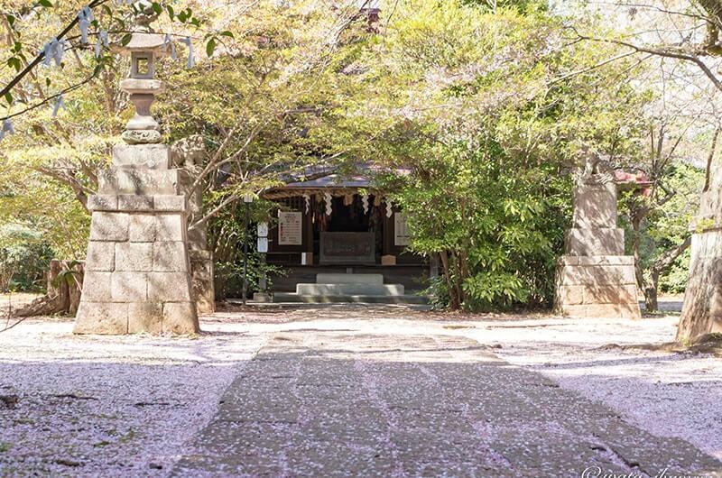 参道に広がる桜の花びら