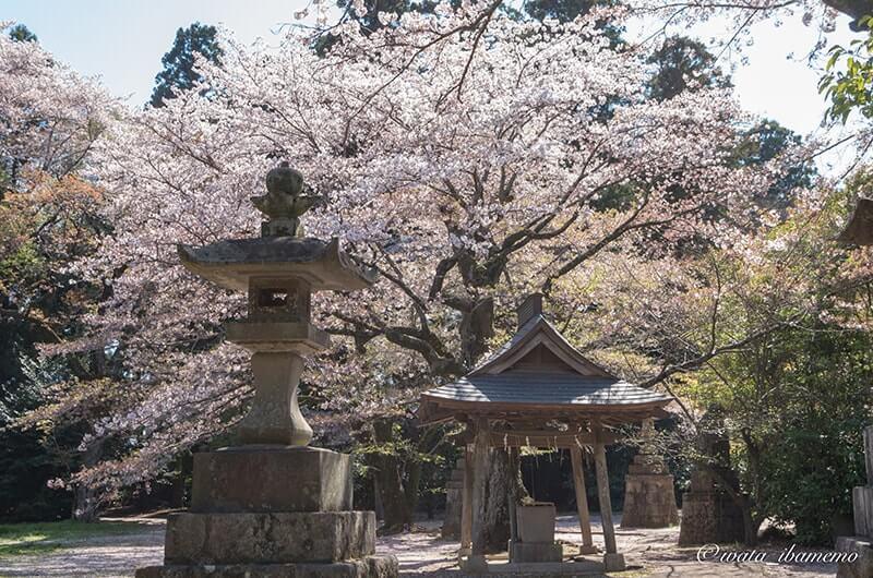 裏の鳥居を進んで見える手水舎と桜